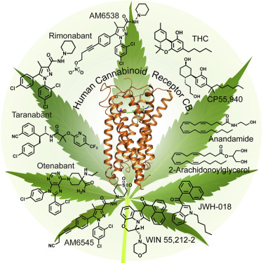 International Researchers In China Create Atomic Level Image Of Receptor Activated By THC