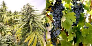 It's Official Cannabis Genes Similar to Grapevine Flavours