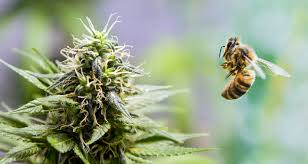Australia: NSW Tea Tree Farm Receives Investment To Develop Medical Cannabis Honey