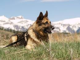 Colorado: Back To Training For Police Detection Dogs
