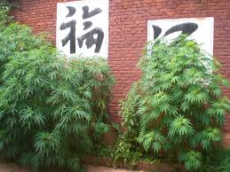 China's Quiet Hemp Revolution