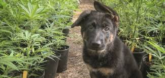 Home Invaders In Florida Shoot Occupants Then Steal 1lb of Cannabis & A Puppy