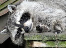 "Rocky Racoon Brought To Firestation At 2am with Cannabis ""overdose"""