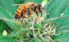 Researcher Says Growing Hemp Will Help  Stabilize Bee Populations