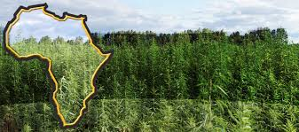 Hoban Law To Take The Lead On Hemp Policy & Regulation In Africa?