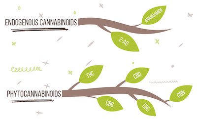 What is the Endocannabinoid Profile and How Does It Heal the Body?