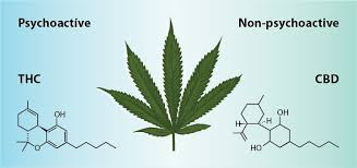 Main Differences Between Cannabidiol and Cannabis