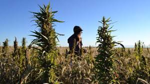 Hemp Industry Daily start publishing series of articles on California's Hemp Industry