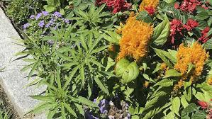 Anonymous gardeners plant cannabis plants in the Vermont Statehouse official gardens