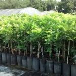 Liberty Health Science's Chestnut Hill Pot farm sale Between Friends: $LHS $GGB