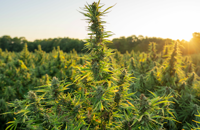 First International Hemp Auction and Market Announced Largest Hemp Auction Will Set Baseline Prices, Support Industry Legislation, and Join Buyers and Growers for Live Bidding and CBD Sales