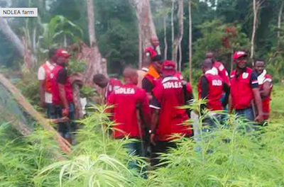 Nigeria: NDLEA destroys 10-hectare Indian hemp plantation in Kogi
