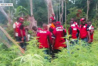 Nigeria: NDLEA destroys 10-hectare Indian hemp plantation in Kogi