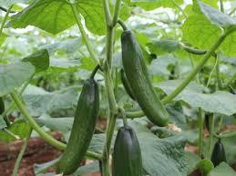 Australia: From Cucumbers To Cannabis In Bundaberg
