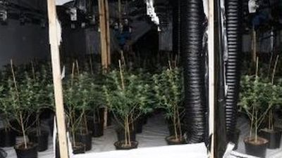 Vietnamese Children Trafficked To UK To Tend Cannabis Grow