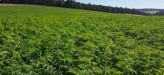Hemp Farmers In The US Hampered By Lack Of Industry Knowledge