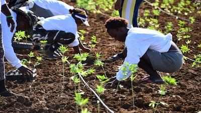 Jamaica: Organic Growth Holdings Start Planting Hemp