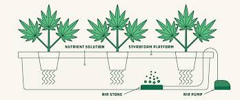 How to grow hydroponic weed?