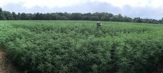 "Media Report Says Virginia Commercial Hemp Growers ""face regulatory uncertainty"""