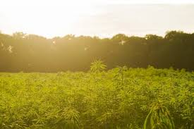 Health Canada Report Says Outdoor Cultivation Outpacing Indoor Cultivation