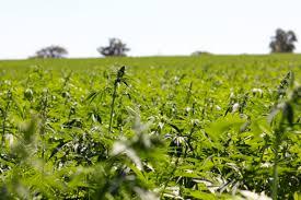 Press Release: Hemp Fields: premium craft Australian hemp