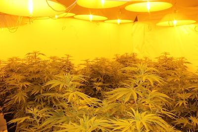 Life Goes On ! Australian Police $1 Million Cannabis Bust In Capital, Canberra
