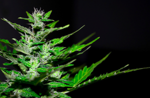 Cannabis and Coronavirus: What You Need to Know