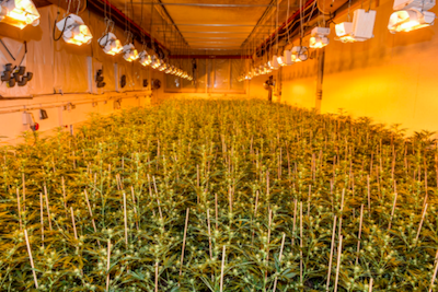 Swiss police arrest hemp grower with 3,700 illegal cannabis plants amid legal hemp crop
