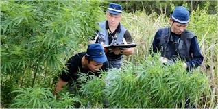 Japan sees record 4,300 cannabis offenders in 2019
