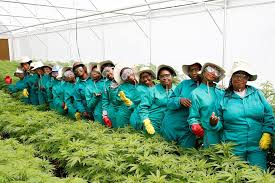 72 Cannabis Workers Laid Off In Lesotho – MG Health Blames Cashflow Issues Connected To COVID-19