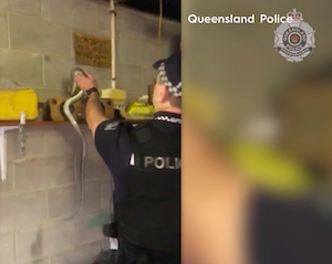 "Australia: Police Raiding Cannabis Plantation In Northern Qld Caught Off Guard By ""Security"" Python"