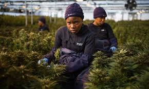 Economist Article: African cannabis growers are on a high