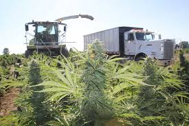 Is Hemp Taking Hold or Is Something Holding up Production?