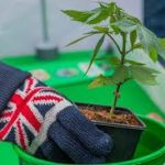 Two reasons why the UK should legalise cannabis
