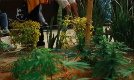 420 marijuana plants found growing outside Mexican Senate !