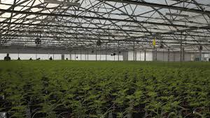 Report Says Indoor Cannabis Cultivation Appalling For Environment & Untenable