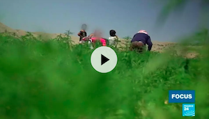 Video: In Lebanon's Beqaa Valley, locals divided over legalisation of medical marijuana