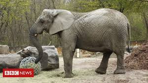 Warsaw Zoo Elephant Fredzia Will Be Testing CBD After Her Best Elephant Friend, Erna, Dies