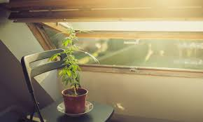 Comment: Why Home-Growing is Fundamental to a Legal Cannabis Model