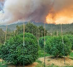 Oregon Cannabis Businesses Impacted By Wildfires  Ineligible For Federal Relief, Agency Confirms