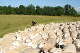 Oregon sheep study latest to study hemp potential as livestock feed