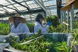 Forbes Article: 250,000 Americans Work In Legal Cannabis And Jobs Are 'Growing'