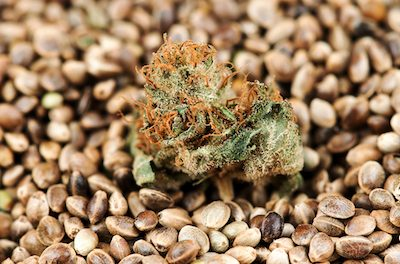 Best Cannabis Seed Bank In 2021