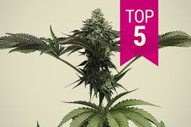 Top 5 Strong Cannabis Strains