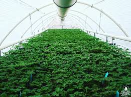 Netherlands: Dutch government to hold  draw  Thursday to choose 10 marijuana cultivators for country's upcoming pilot program