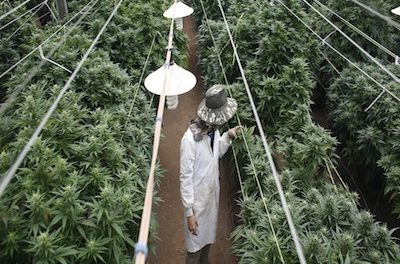 Voice Of America Report Investigates Chinese Immigrant Workers Turning To Cannabis Sector For Employment As Hospitality Industry Collapses During Pandemic