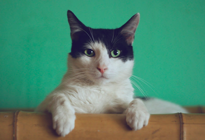 What Next Steps To Take If Your Cat Eats Cannabis By Accident