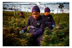 Highlands Investments Launches Africa's First Contract Cultivation Offering In Lesotho