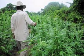 "Article: Uganda ""policy towards cannabis is currently a haze of confusion"""