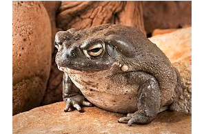 Sonoran Desert Toad Threatened With Extinction Because Of Psychedelic Properties